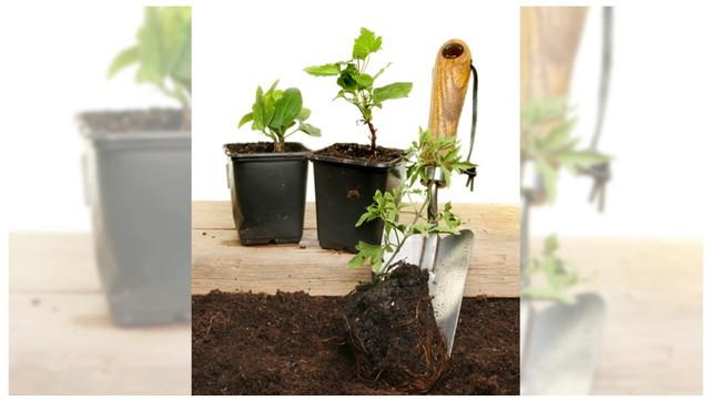 クレマチスをシャベルで植える