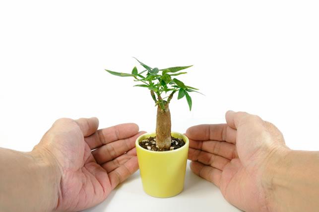 パキラの木