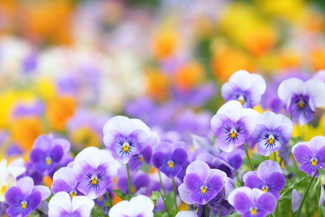 多く咲いているビオラ