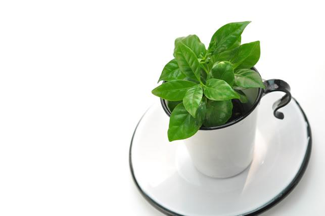 コーヒーの木とコーヒーカップ