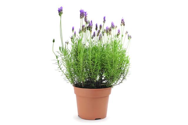 鉢に植えられたイングリッシュラベンダー