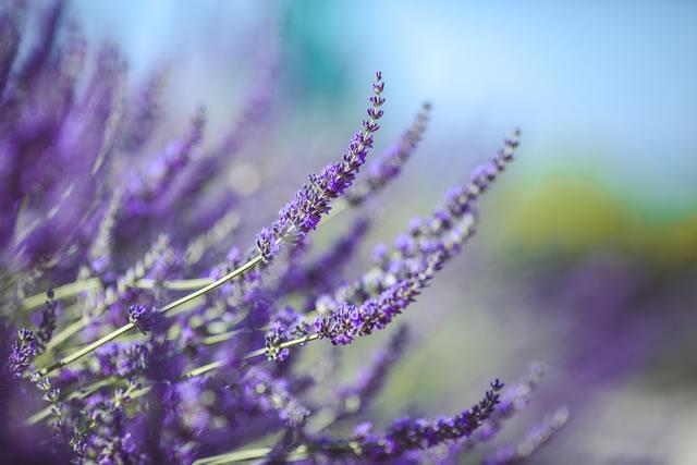 イングリッシュラベンダーの花のアップ