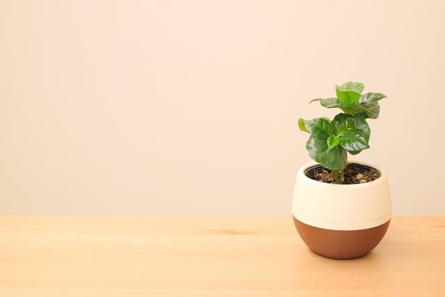 コーヒーの木観葉植物