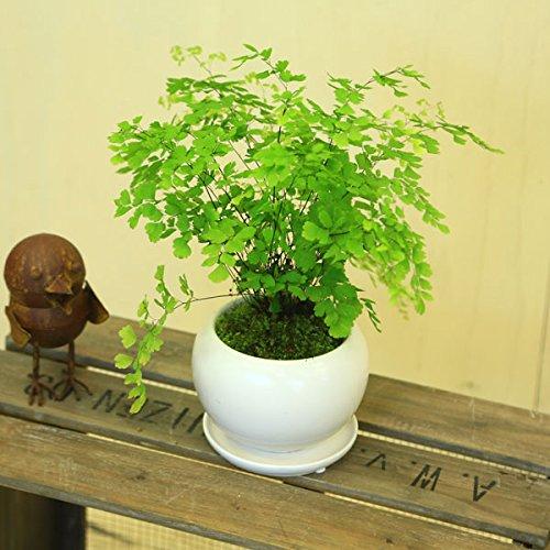 観葉植物 アジアンタム モダンホワイト陶器鉢14cm 受け皿付 苔付き