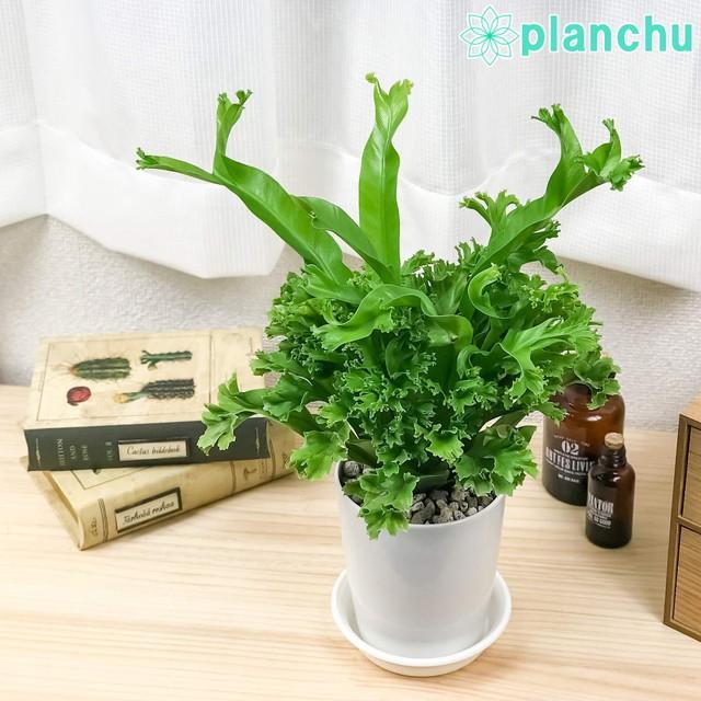 観葉植物 シダ アスプレニウム アンティーカム レズリー 4号鉢 受け皿付き オオタニワタリ