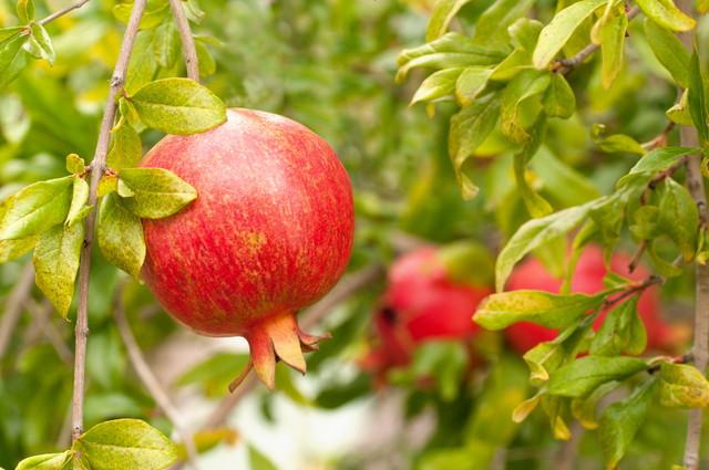 木に熟した赤ザクロの果実