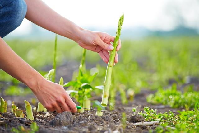 グリーンアスパラガスの収穫