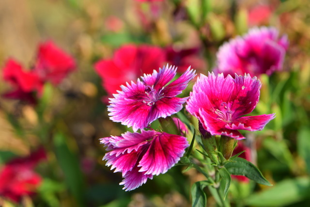 赤いセキチクの花