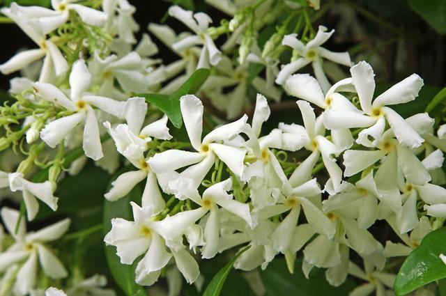 咲き乱れるジャスミンの花