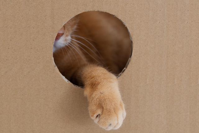 ダンボールの穴から手を出すネコ