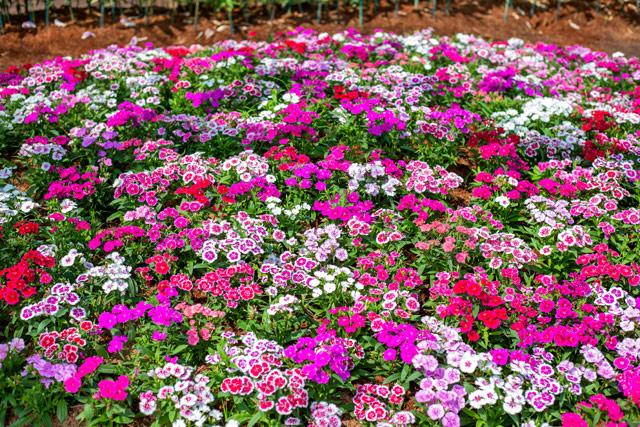 鮮やかなダイアンサスの花