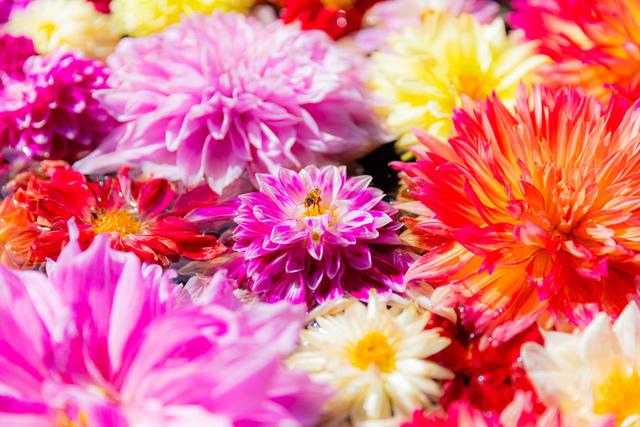 一面のダリア 花の絨毯