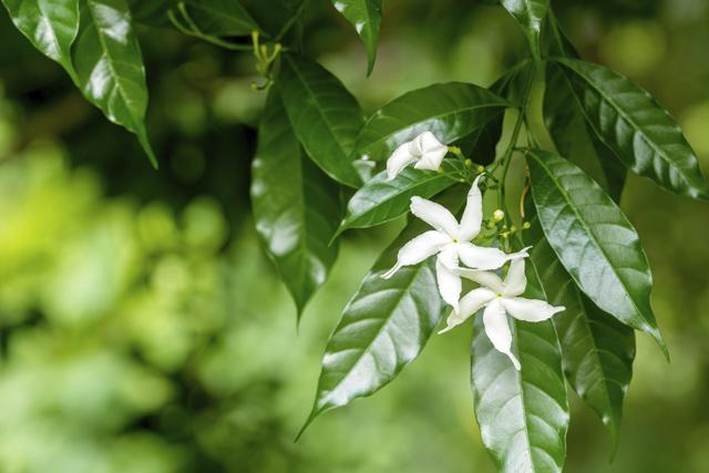 ツヤのあるジャスミンの葉
