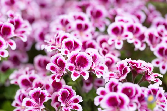 ゼラニウムの花たち
