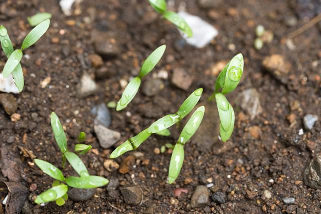 パクチーの新芽