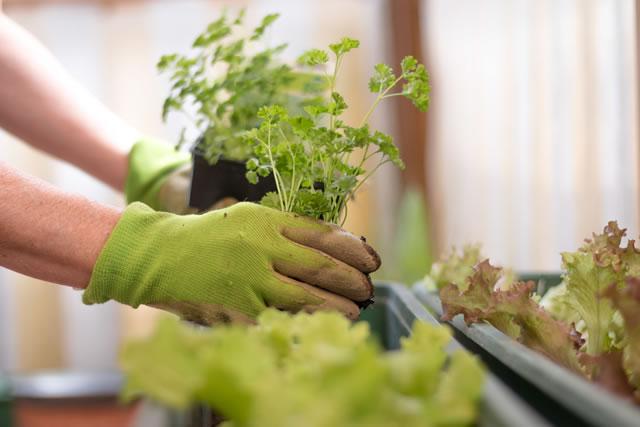 パセリの苗をプランターに植える