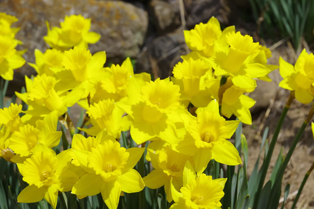 まぶしい黄色の水仙