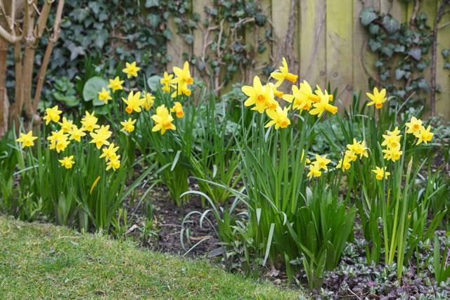 黄色い花の水仙