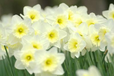 純白の水仙