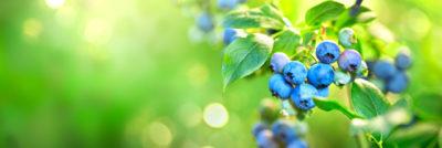 木に生えているブルーベリー