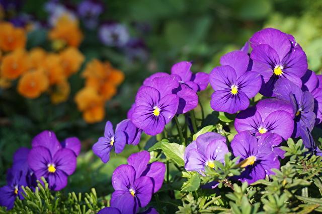 パープルの花