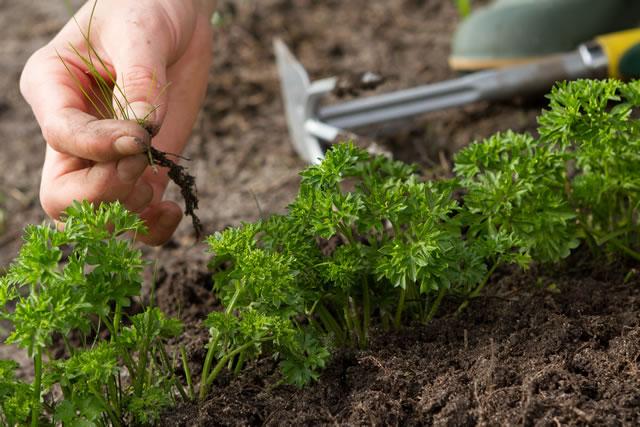 パセリの近くに生える雑草を抜く