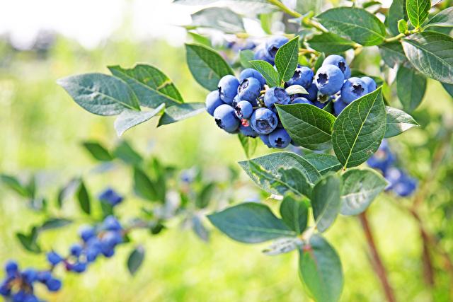 木になっているブルーベリー