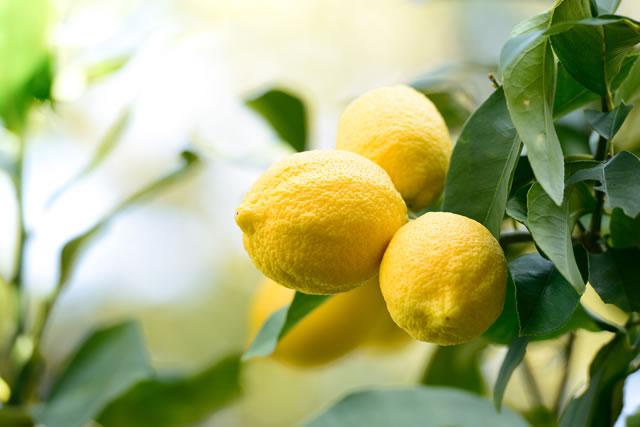 丸々実ったレモン