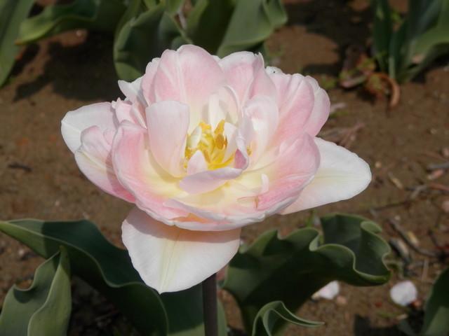 薄いピンク色のチューリップ(八重咲き)