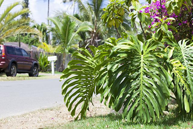 ハワイ ワイマナロ モンステラ