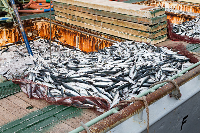 漁の水揚げ -境漁港-