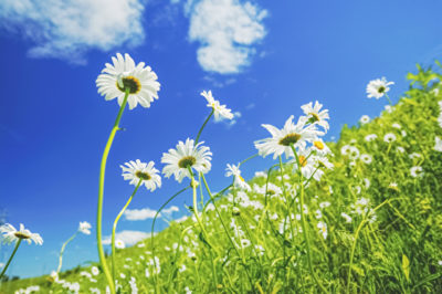 青空に映えるマーガレットの花