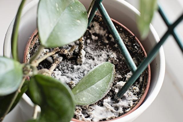 カビの生えた観葉植物