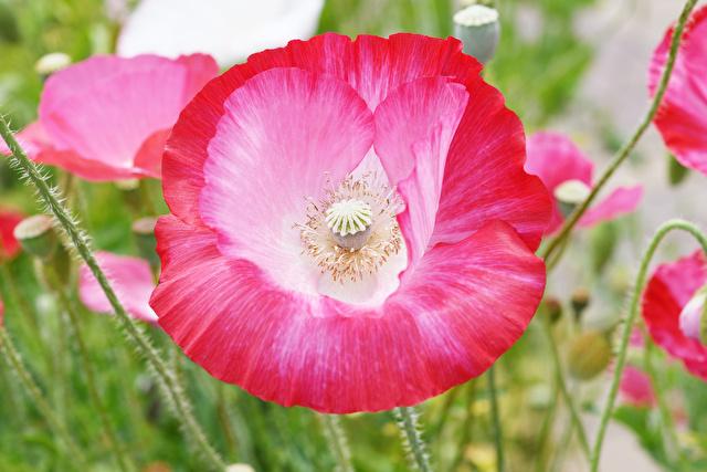 ピンクのポピーの花