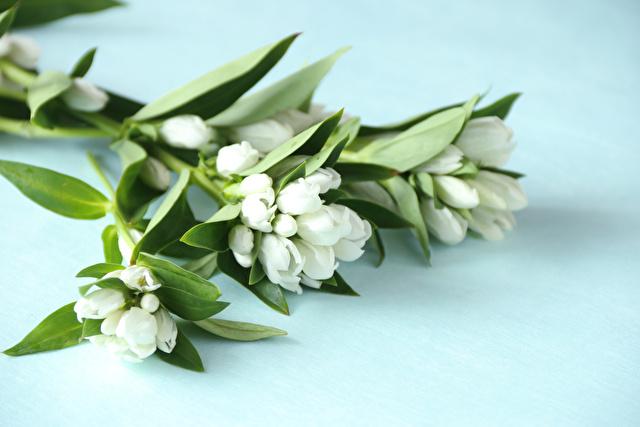 白のリンドウ
