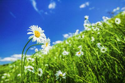 野原に咲くマーガレットの花