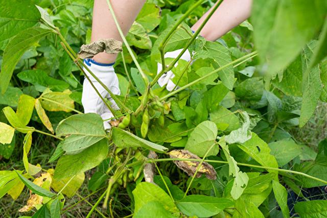 枝豆を収穫している様子