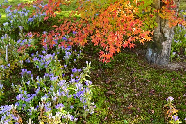 紅葉とリンドウの花