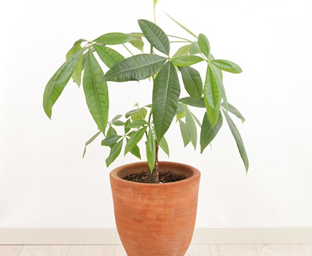鉢植えのパキラ