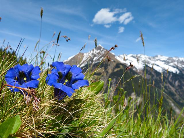 blauer Enzian in Österreich