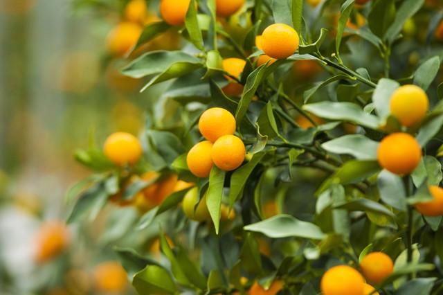 たくさんの実が付いた金柑の木