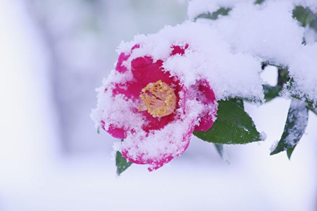 粉雪積もる山茶花