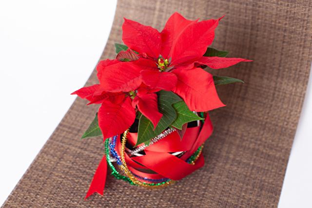 ポインセチアクリスマスイメージ
