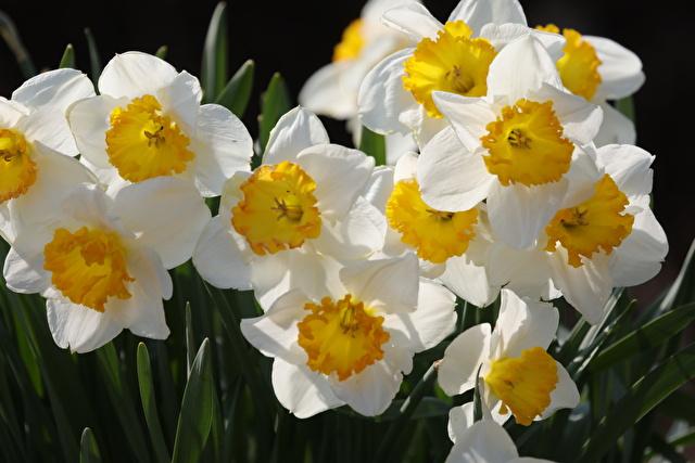 スイセン、水仙、花、草花、春、白い花、白、