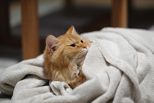 フワフワの毛布と猫