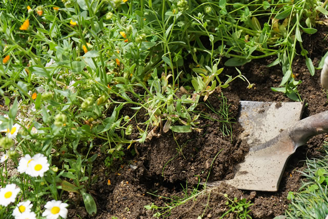 スコップで雑草を掘り上げる