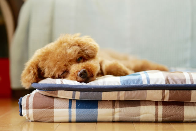 式布団の上で寝る犬