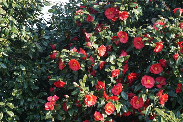 赤いつばきがたくさん咲いている様子