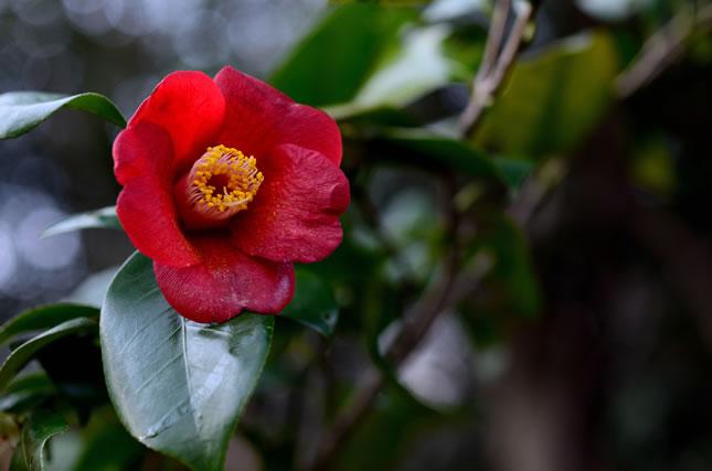 つばきが1つ咲いている様子