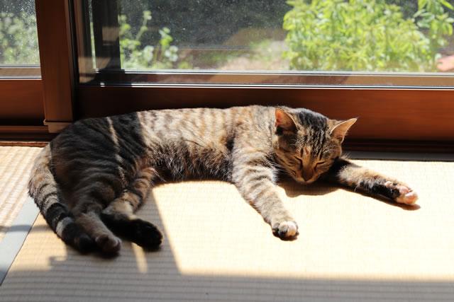 畳の上で日向ぼっこする猫